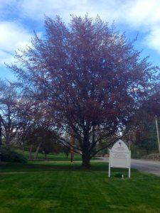 Trinity's copper beech tree unfurling her beautiful leaves.